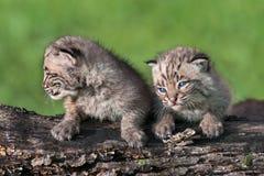 Två behandla som ett barn Bobcat Kits (lodjurrufus) sitter på journal Royaltyfri Fotografi