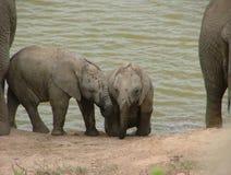 Två behandla som ett barn elefanter på ett bevattna hål, Addo Elephant National Park Royaltyfria Bilder