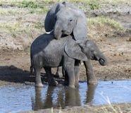 Två behandla som ett barn elefanter som står i vatten, en belägen mitt emot kamera Royaltyfria Bilder