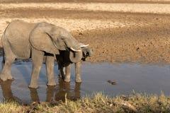 Två behandla som ett barn elefanter som står i vattendricksvatten Arkivfoton