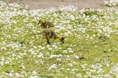 Två behandla som ett barn gässlingar som söker efter föda för mat på jordningen arkivbilder