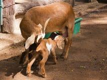 Två behandla som ett barn geten som att dricka mjölkar från moder Arkivbild