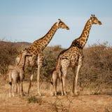 Två behandla som ett barn giraff varje ställning bredvid deras moder arkivbilder