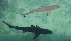 Två behandla som ett barn hajen i havet Arkivfoton