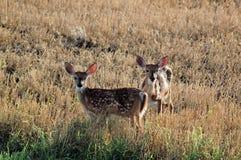 Två behandla som ett barn hjortar i ett fält royaltyfria foton