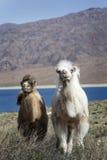 Två behandla som ett barn kamlet, Kirgizistan, den Chui dalen Arkivfoton