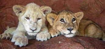 Två behandla som ett barn lejongröngölingar i fångenskap royaltyfri bild