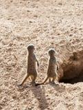 Två behandla som ett barn Meerkats Royaltyfri Bild
