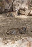 Två behandla som ett barn moufflon som vilar på jordning Royaltyfri Bild