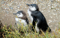 Två behandla som ett barn pinguins Arkivbilder