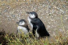 Två behandla som ett barn pingvin Arkivbilder
