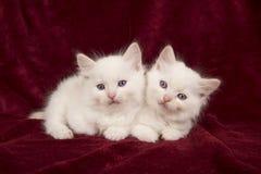 Två behandla som ett barn ragdollkatter som ner ligger på en burgundy sammetslätt arkivfoto