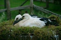 Två behandla som ett barn storks Fotografering för Bildbyråer