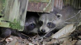 Två behandla som ett barn tvättbjörnar petar deras nosar upp från under en journal lager videofilmer