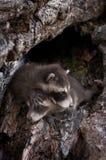 Två behandla som ett barn tvättbjörnar (Procyonlotor) kryper över de Arkivbild