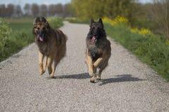Två belgiska herdeTervuren hundkapplöpning som utanför kör Arkivbild