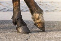 Två ben av en häst` s traskar, ett ben som lyfts ovanför yttersidan arkivfoto