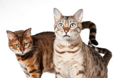 Två Bengal kattungar som ser stöta och stirra Arkivfoto