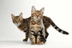 Två Bengal Kitten Sitting som går på vit bakgrund, nyfiken stirrande royaltyfria bilder