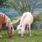Två betande hästar Arkivbild