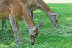 Två betande hindar eller djurhonor för röda hjortar på sommargrässlätt Royaltyfria Bilder