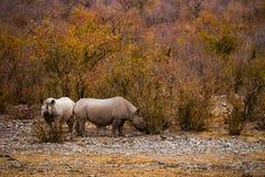 Två betande svarta noshörningar Arkivfoton