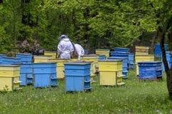 Två bi-förlage skyler in på bikupaarbete bland bikupor Fotografering för Bildbyråer
