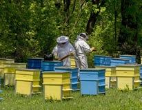 Två bi-förlage skyler in på bikupaarbete bland bikupor Royaltyfri Foto