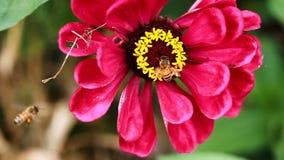 Två bin på den annalkande pollencloseupen för röd blomma stock video