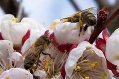 Två bin pollinerar aprikosblomningar på våren royaltyfri fotografi