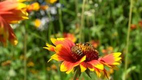 Två bin som kryper på en röd blomma i sökande av nektar arkivfilmer