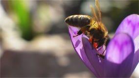 Två bin som landar på en purpurfärgad blomma arkivfilmer