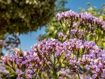 Två bin som söker efter föda i blommorna royaltyfria bilder