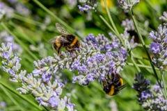 Två bin som samlar pollen Fotografering för Bildbyråer