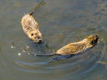 Två bisamer som simmar i vattnet av Shlossgrabenen av Wolfsburg, rockerar arkivfoto