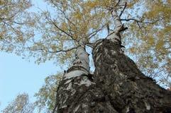 Två björkträd med gul sidabotten-uppsikt arkivfoto