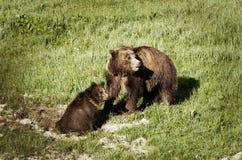 Två björnar - modern med behandla som ett barn Royaltyfri Bild