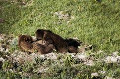 Två björnar - modern med behandla som ett barn - amma Royaltyfri Bild