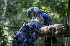 Två blåa araras tillsammans i bur Arkivfoto