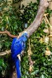 Två blåa aror i träd Arkivfoto