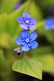 Två blåa blommor av Omphalodes vernaslut upp Arkivfoto