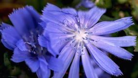 Två blåa blommor i closeuo royaltyfria bilder