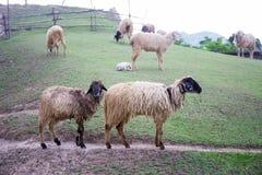 Två blacknosesheeps på fält för grönt gräs och sheepsbakgrund royaltyfria foton