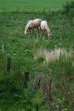 Två bleka hästar i ett fält arkivbild