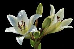 Två blommor av den vita liljan med små droppar av vatten i solsken Arkivbild