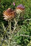 Två blommor av kronärtskockaprotea En skönhet och ett monster på set Arkivfoto