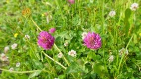 Två blommor för röd växt av släktet Trifolium Arkivfoto