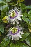 Två blommor och sidor för passionfrukt Royaltyfria Bilder