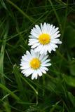 Två blomningar av tusensköna i gräs Arkivbild