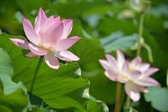 Två blomstrade lotusblommablommor på olika etapper Fotografering för Bildbyråer